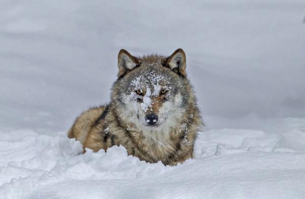49ème :  Le loup - Fernand ALBERT - Focale 49