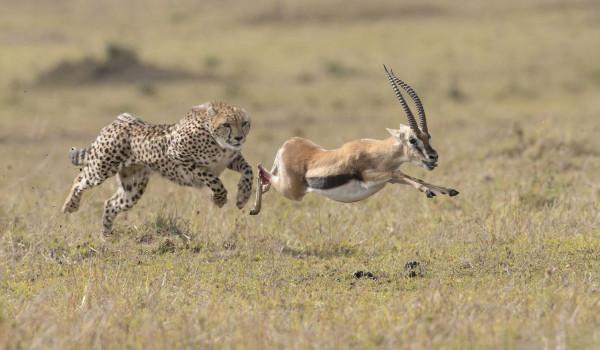 62ème : Gazelle aux abois - Fernand ALBERT - Focale 49